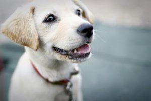 わら白いビーグル犬