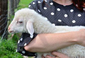 人に抱かれる羊