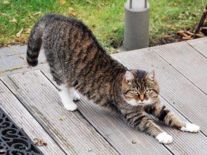 ストレッチをする猫