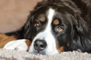 正面を見つめる犬