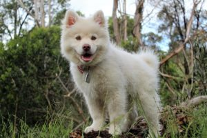 笑う白い小犬