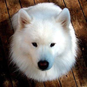 正面を見つめる白い犬