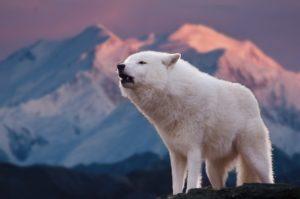 吠える白い狼