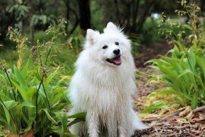 笑う白いスピッツ犬