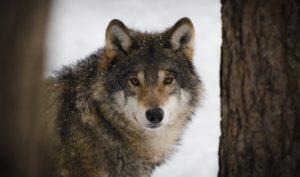 正面を見つめるオオカミ