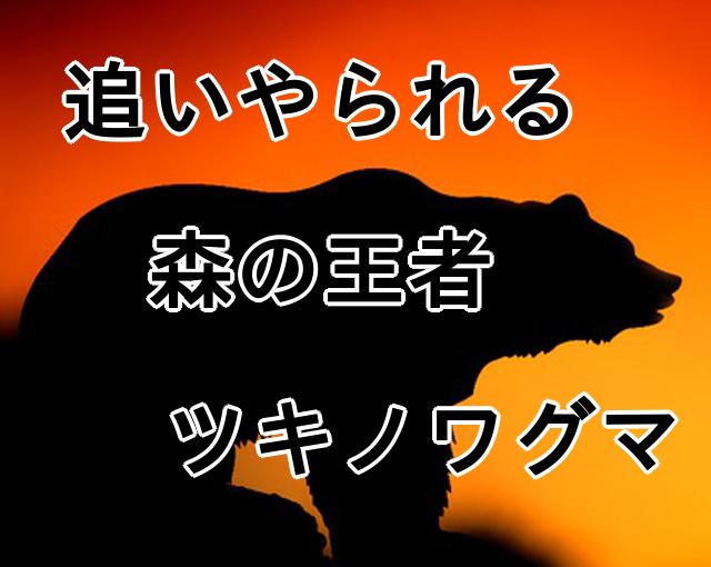 栃木県 足尾山地に住む ツキノワグマ