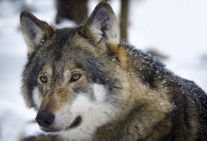 遠くを見つめるオオカミ