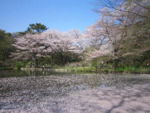 「国立科学博物館附属 自然教育園」の桜と池