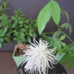 ガジュマル・パキラ観葉植物と仲良くなる方法を紹介します!